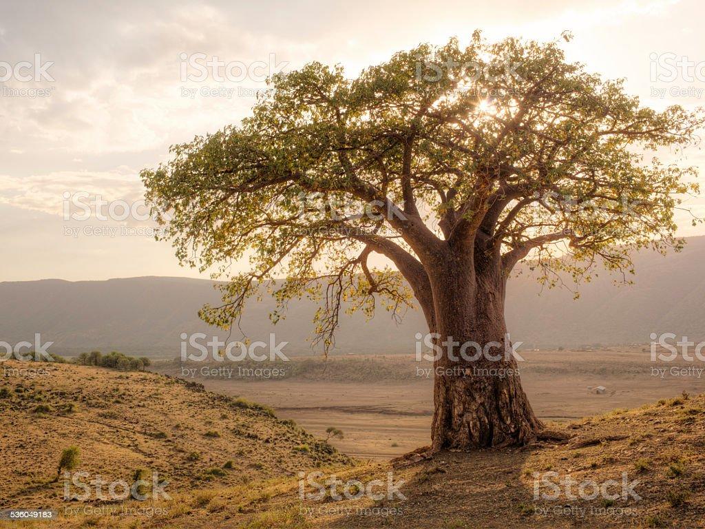 African Baobab Tree bildbanksfoto
