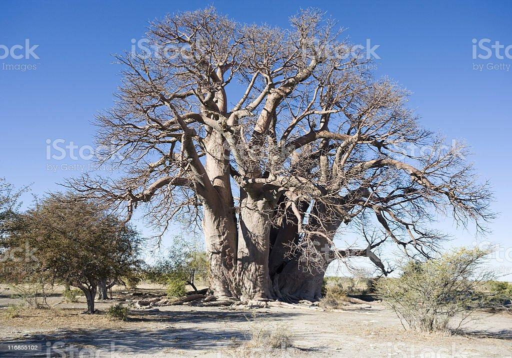 Afrikanischer Baobob Tree – Foto