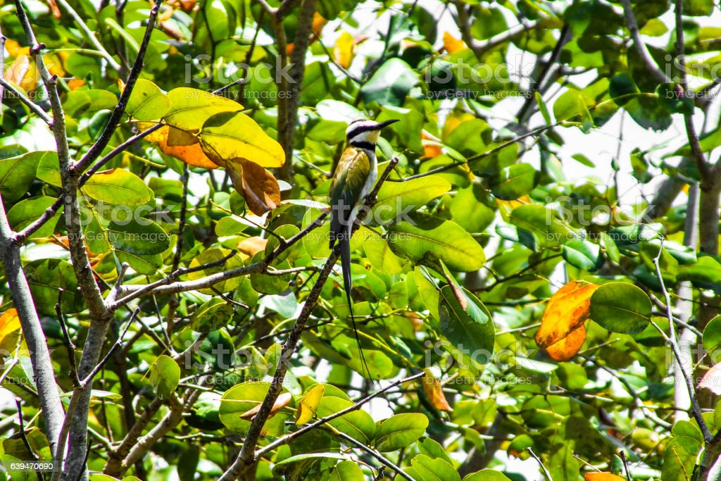 African Bee eater stock photo