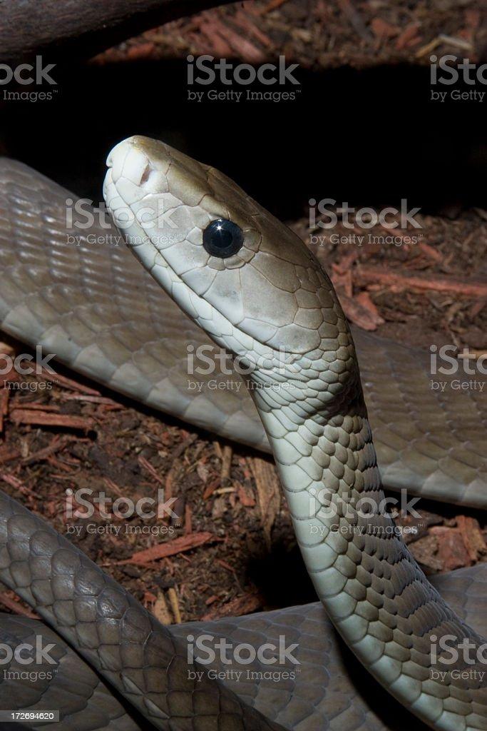 African Black Mamba Snake stock photo