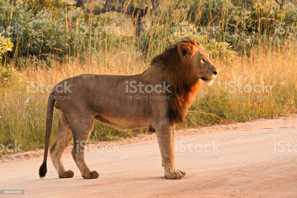 African black mane lion stock photo