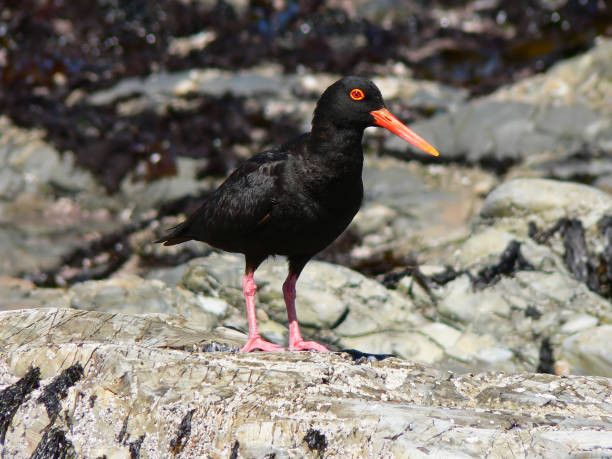 African Black Oystercatcher stock photo