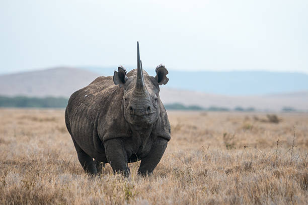 african black rhino - wildlife conservation stock photos and pictures