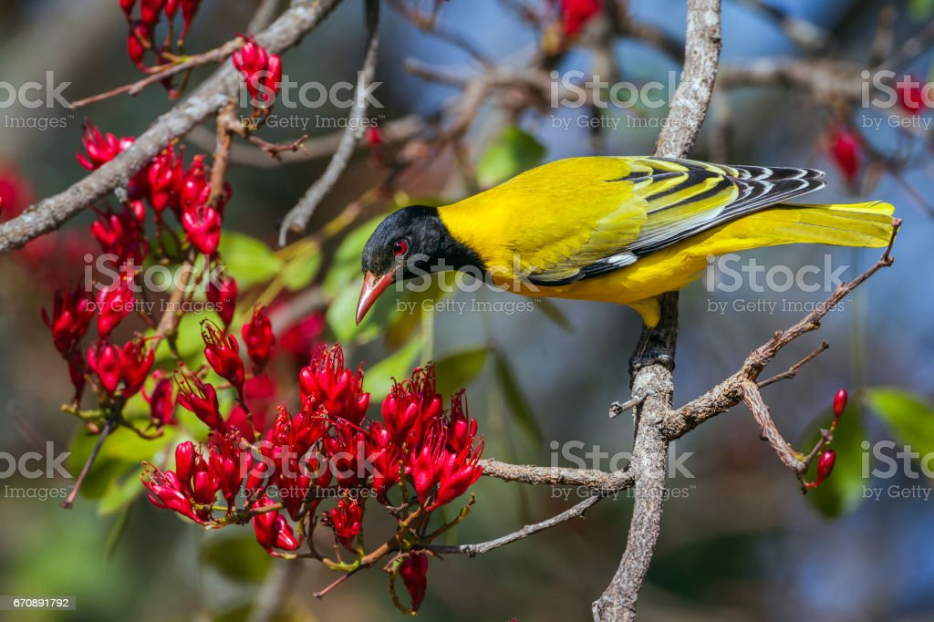 African Black-headed Oriole in Kruger National park, South Africa stock photo