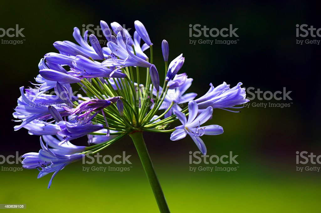 African Blue Lily Latin name Agapanthus africanus stock photo