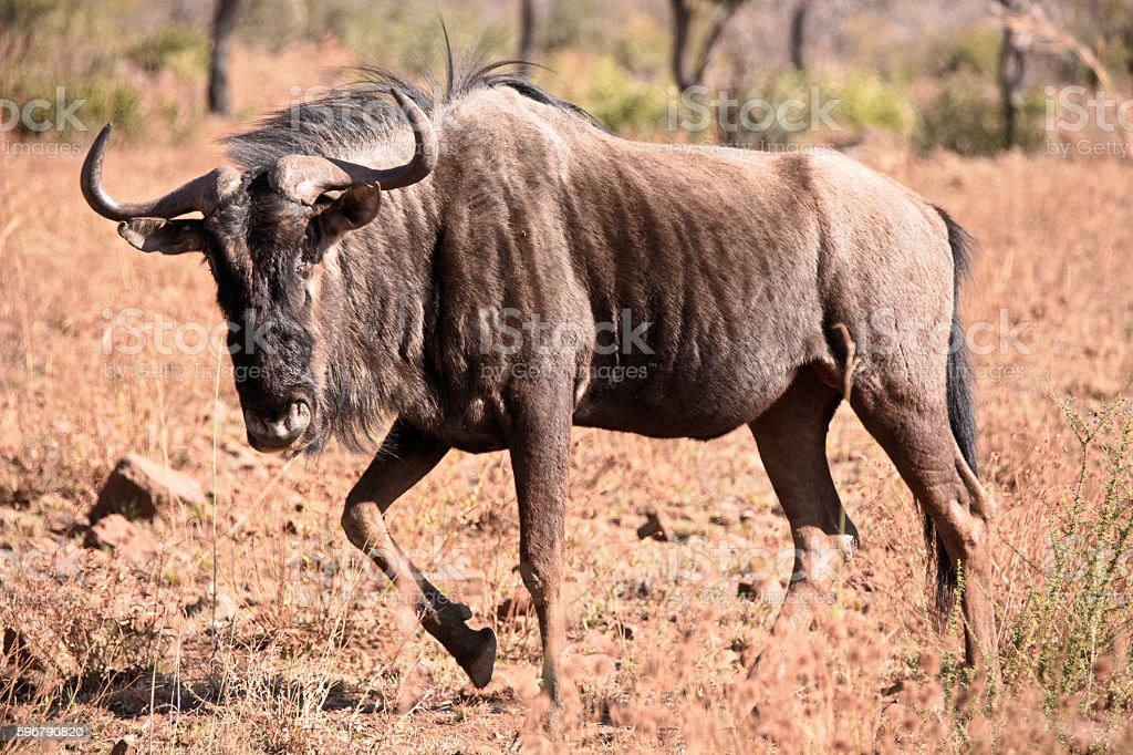 African Blue Wildebeest strolling through the savannah stock photo
