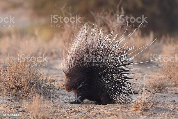 Photo of African brush-tailed porcupine with raised quills