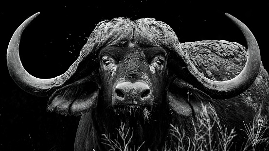 Monochrome portrait of a large African buffalo bull with impressive horns