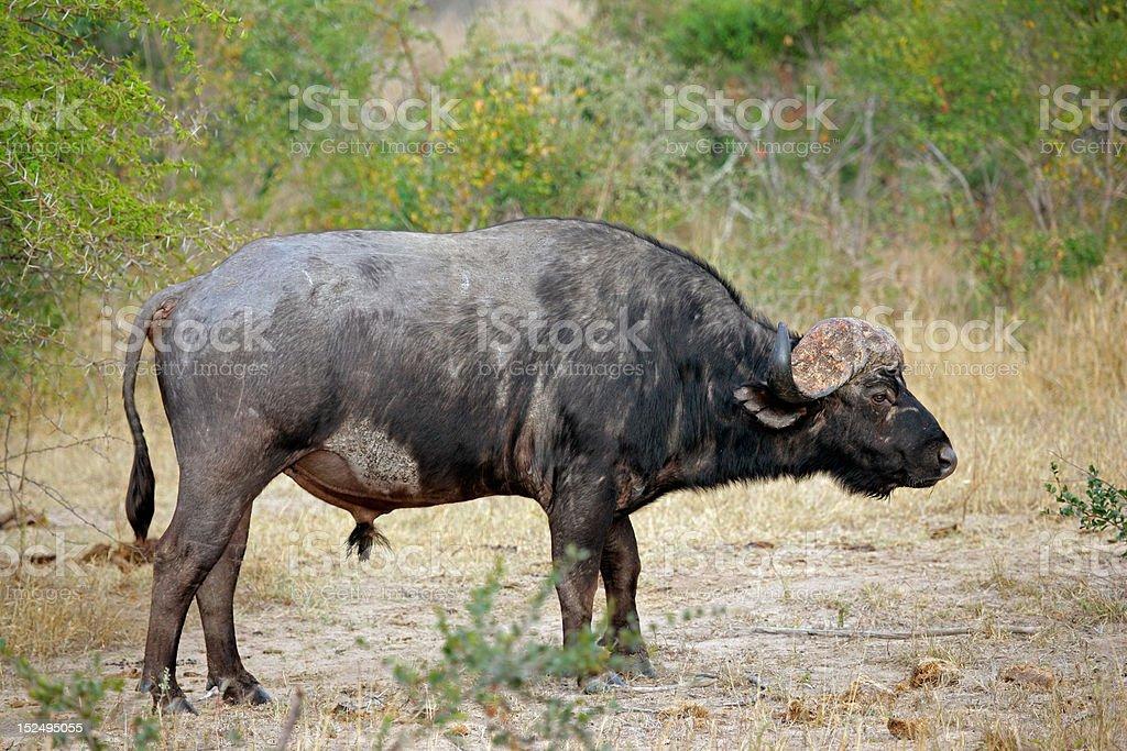 African buffalo bull royalty-free stock photo