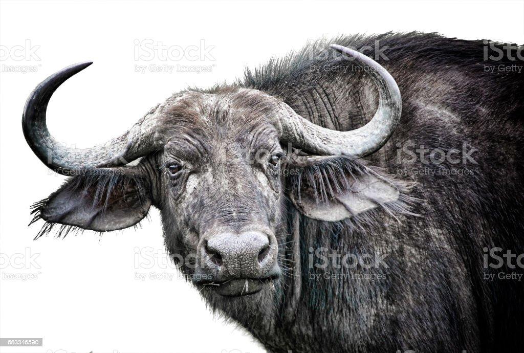 African buffalo close up isolated on white background stock photo