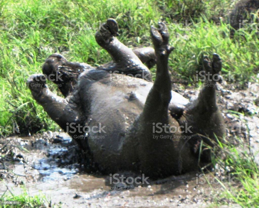 African Buffalo feels gooood stock photo