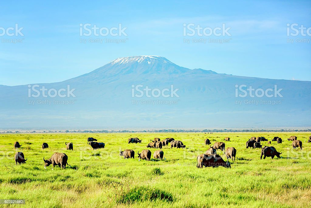African Buffalo Herd with Kilimanjaro Mount in the background stock photo