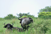 Two African buffalo grazing in Murchison Falls National Park unconcerned by the oxpecker scavenging bugs from their backs