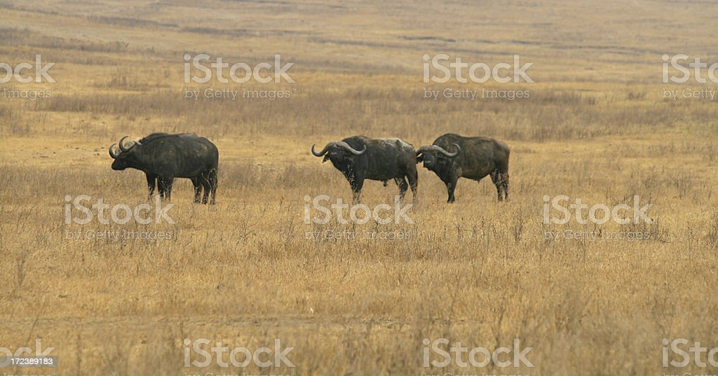 African Buffalo royalty-free stock photo