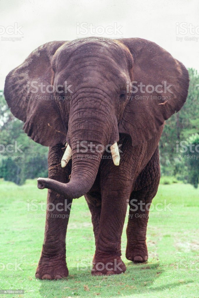African Bull elephant with tusks; face front image stock photo