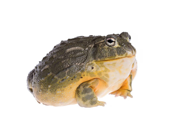 african bullfrog on isolated white background - croak stock pictures, royalty-free photos & images