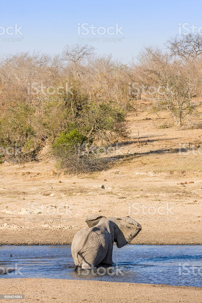 african bush elephant bathing in Kruger Park stock photo
