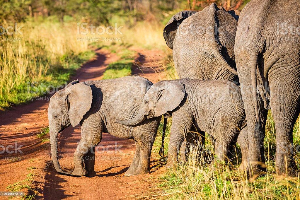 African bush Elephant calves in Serengeti N.P. - Tanzania African bush Elephant calves in Serengeti N.P. - Tanzania. Acacia Tree Stock Photo