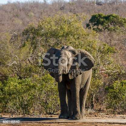 istock african bush elephant drinking in Kruger, South Africa 836146540
