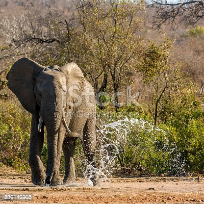 istock african bush elephant drinking in the riverbank in Kruger Park 836146968