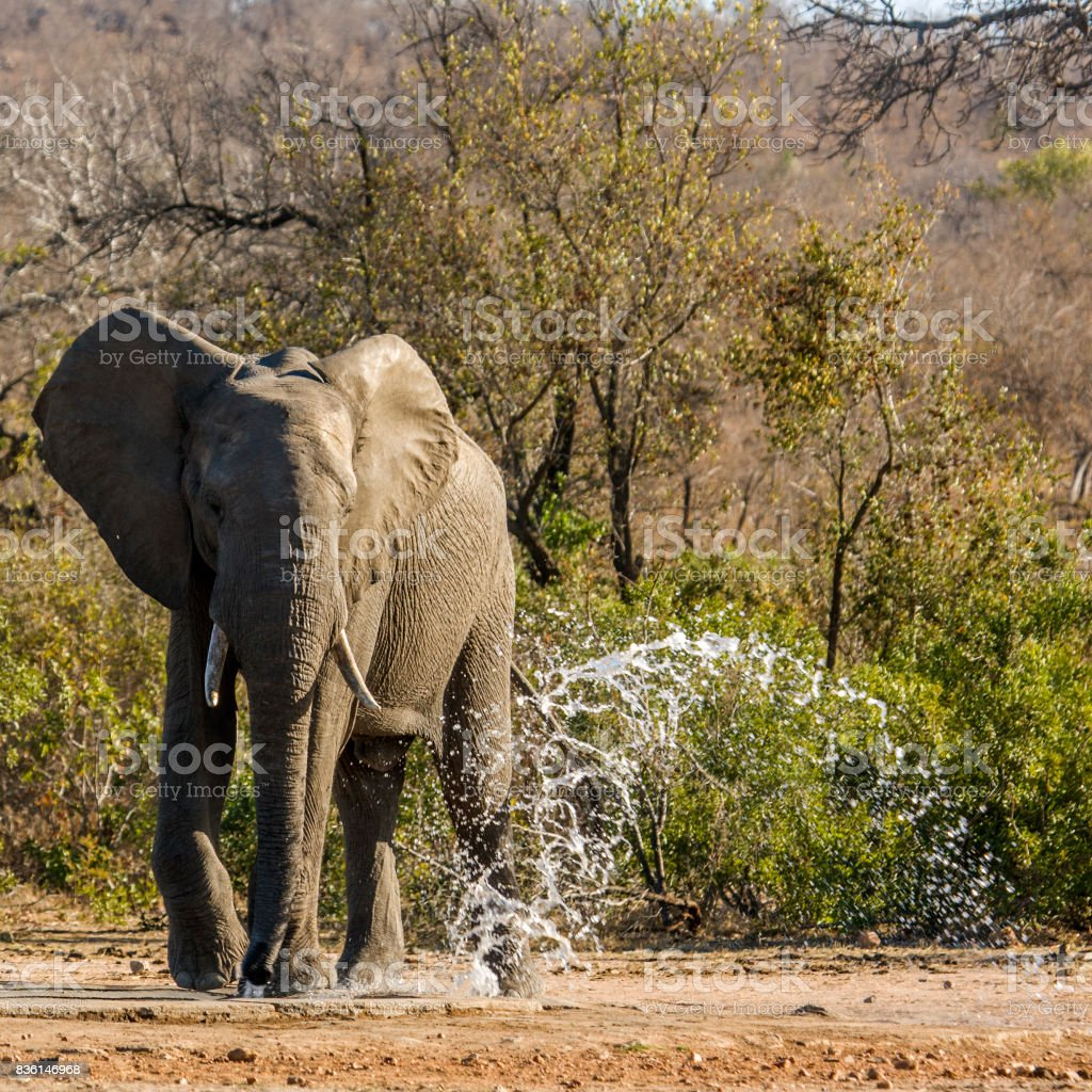 african bush elephant drinking in the riverbank in Kruger Park stock photo