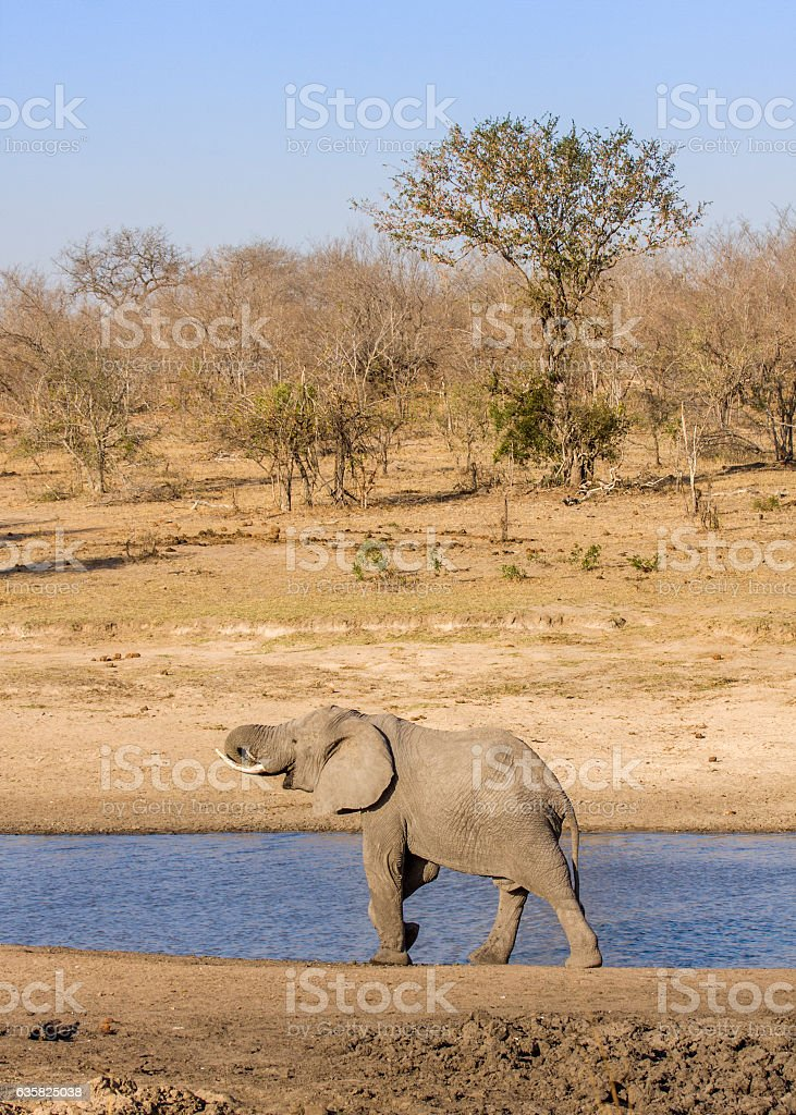 african bush elephant drinking in the riverbank stock photo