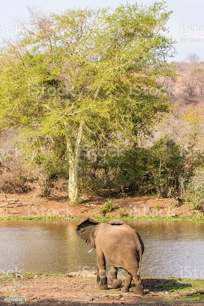 african bush elephant drinking water with its trunk stock photo