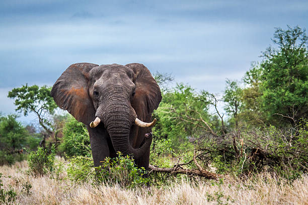 African bush elephant in Kruger National park, South Africa Specie Loxodonta africana family of Elephantidae african elephant stock pictures, royalty-free photos & images