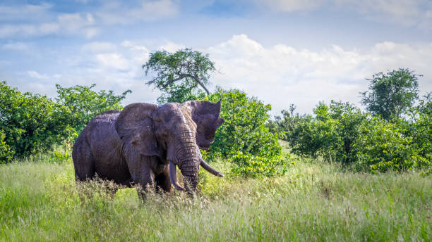 african bush elephant in kruger national park, south africa - wildlife conservation stock photos and pictures