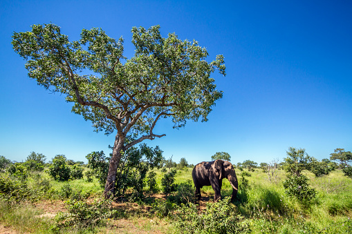 istock African bush elephant in Kruger National park, South Africa 951690690