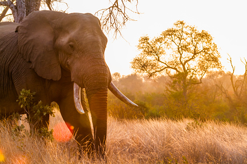 istock African bush elephant in Kruger National park, South Africa 959952742