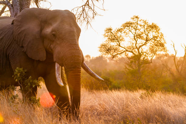 African bush elephant in Kruger National park, South Africa Specie Loxodonta africana family of Elephantidae kruger national park stock pictures, royalty-free photos & images