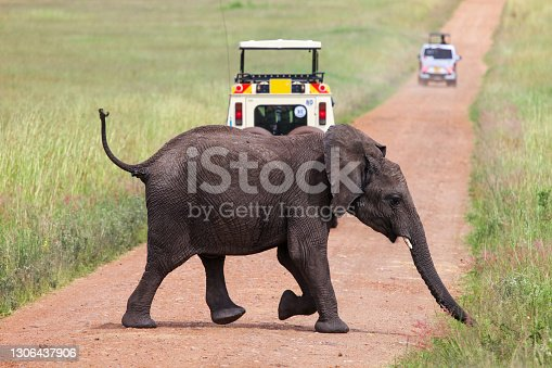 istock African bush elephant 1306437906