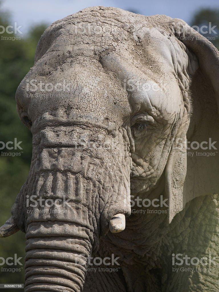 African Bush Elephant. royalty-free stock photo