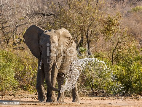 istock african bush elephant throwing water and drinking in Kruger Park 836147368