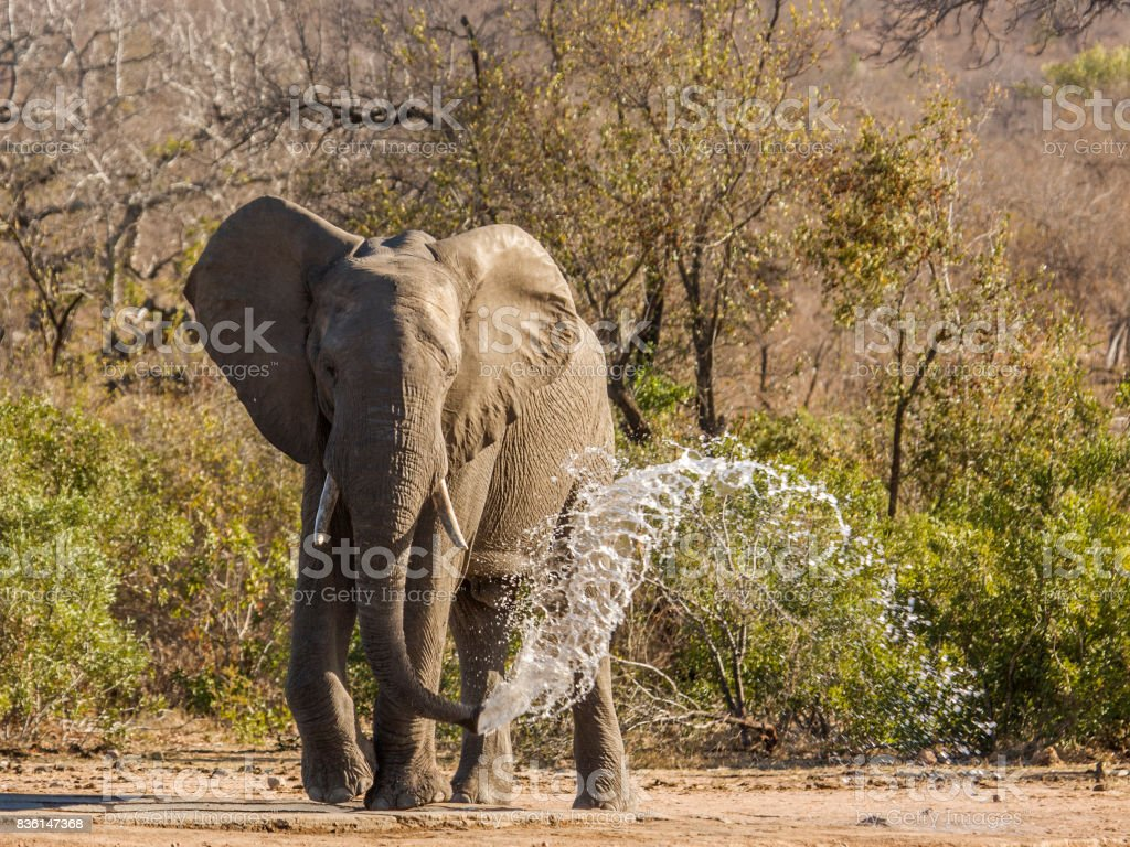 african bush elephant throwing water and drinking in Kruger Park stock photo
