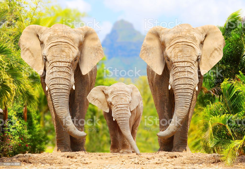 African Bush Elephants - Loxodonta africana family walking on the road in wildlife reserve. Greeting from Africa. African Bush Elephants - Loxodonta africana family walking on the road in wildlife reserve. Greeting from Africa. Africa Stock Photo