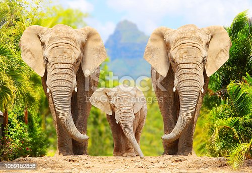 istock African Bush Elephants - Loxodonta africana family walking on the road in wildlife reserve. Greeting from Africa. 1059152858