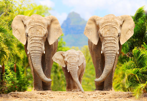 African Bush Elephants - Loxodonta africana family walking on the road in wildlife reserve. Greeting from Africa. African Bush Elephants - Loxodonta africana family walking on the road in wildlife reserve. Greeting from Africa. animal family stock pictures, royalty-free photos & images