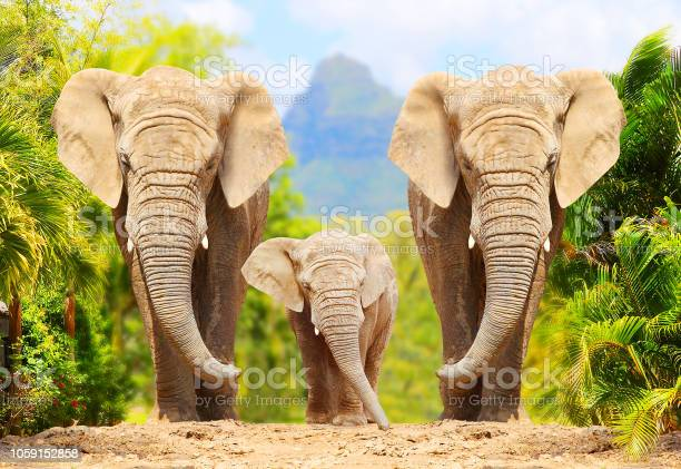 African Bush Elephants Loxodonta Africana Family Walking On The Road In Wildlife Reserve Greeting From Africa Stock Photo - Download Image Now