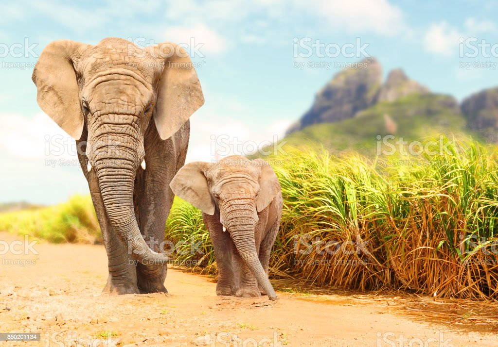 African Bush Elephants - Loxodonta africana. African Bush Elephants - Loxodonta africana family walking on the road in wildlife reserve. Greeting from Africa. Africa Stock Photo