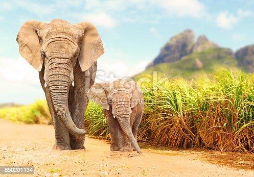 istock African Bush Elephants - Loxodonta africana. 850201134
