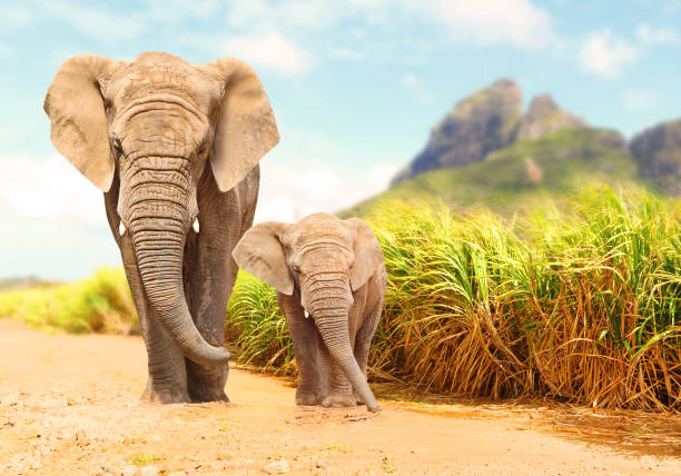 African Bush Elephants - Loxodonta africana. African Bush Elephants - Loxodonta africana family walking on the road in wildlife reserve. Greeting from Africa. wildlife reserve stock pictures, royalty-free photos & images