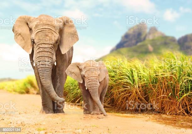African Bush Elephants Loxodonta Africana Stock Photo - Download Image Now