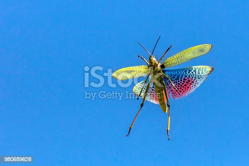 African Bush grasshopper (Phymateus viridipes) seen here flying with its red wings against a blue sky.