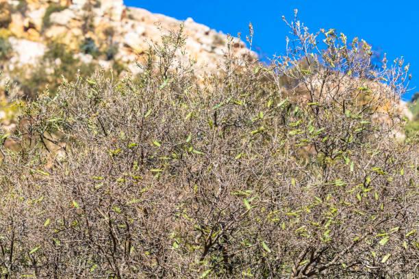 afrikaanse bush sprinkhaan in vlucht - locust swarm stockfoto's en -beelden