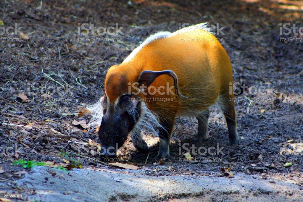 African Bush Pig stock photo