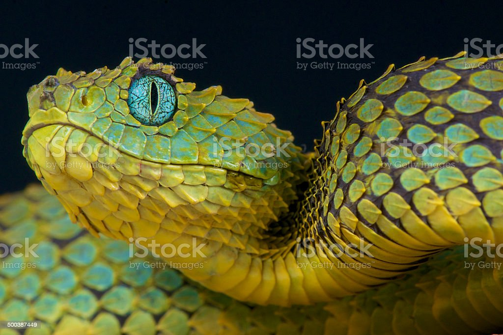 African Bush viper / Atheris squamigera stock photo