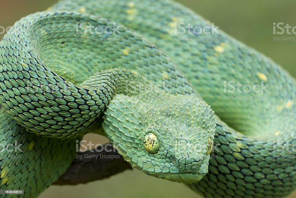 African Bush Viper Coiled to Strike! stock photo