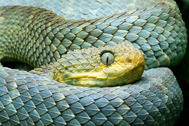 african bush viper (atheris squamigera) - snake stock photos and pictures